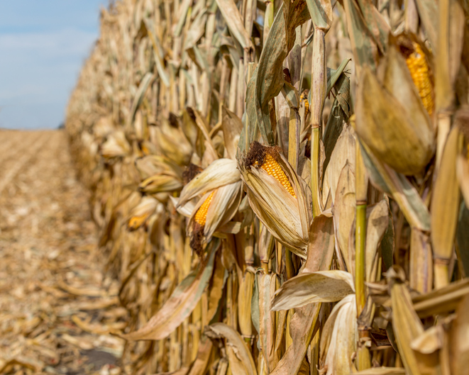 corn stalks ready for harvest